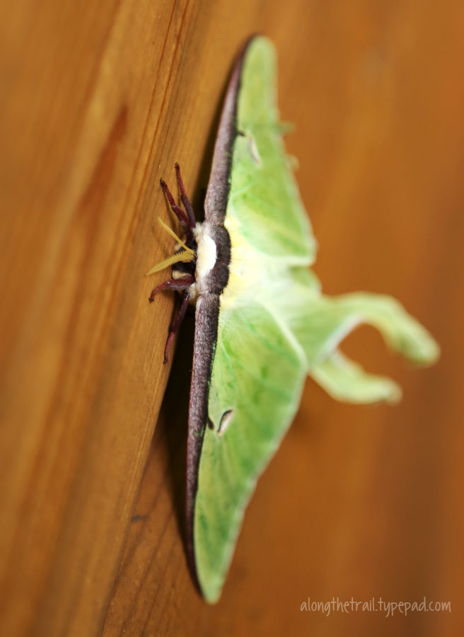 Large-green-moth