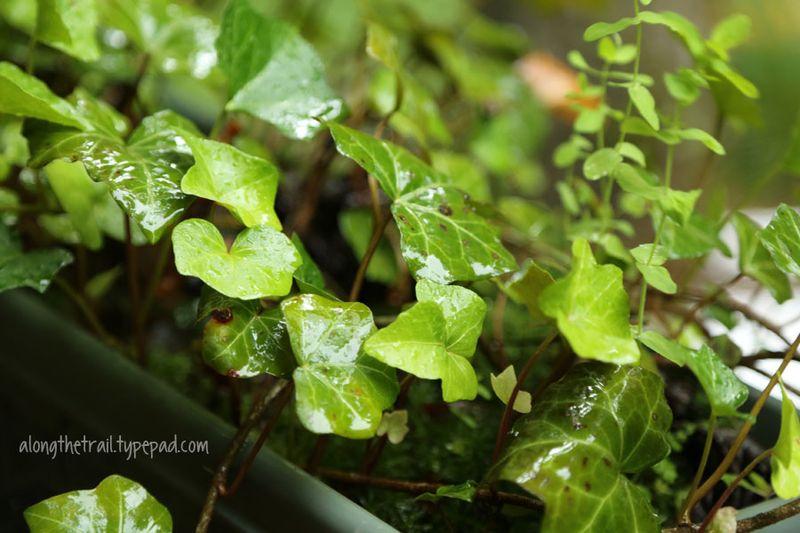 Wet-ivy