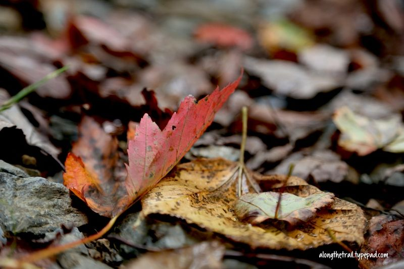 Fall In Nature Red Leaf