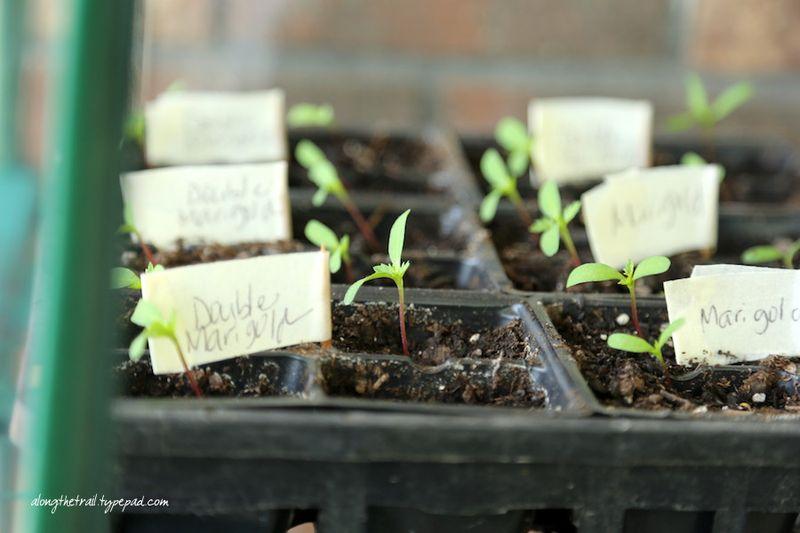 Marigold Seedlings Along The Trail