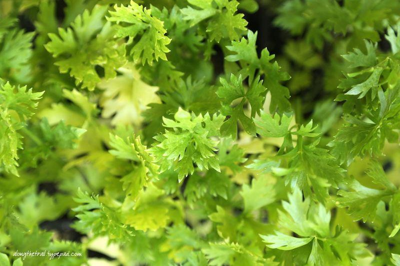 Celery Plants Along The Trail