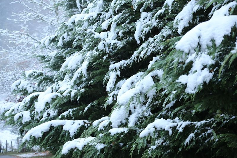 Snow on evergreens